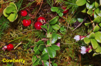 cowberry fruit flowers